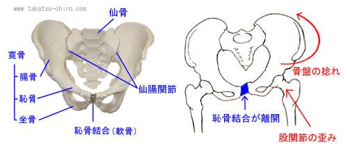 骨盤と恥骨結合